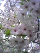 葉桜なりかけ