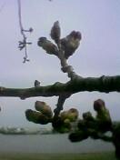やすらぎ堤の桜はまだつぼみ