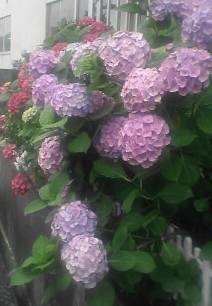 この辺りではこの色の紫陽花が多いです