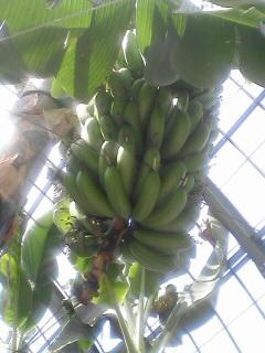バナナの実はまだ熟れてないですね